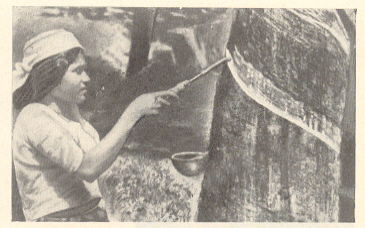 रबराच्या झाडाच्या खोडावर चीक मिळविण्यासाठी विशिष्ट हत्याराने चीर पाडण्यात येत आहे.