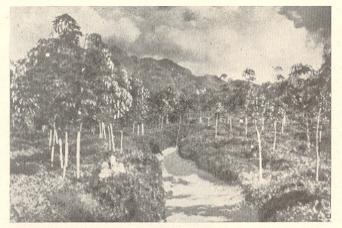 दक्षिण भारतातील रबराच्या मळ्यातील जास्त उत्पन्न देणारी कलमी झाडे