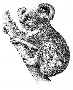 कोआला