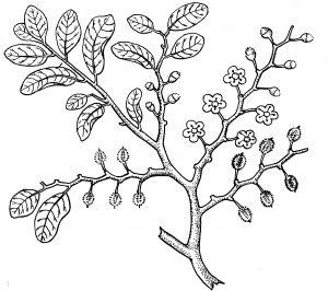 कोका : पाने, फुले व फळे असलेली फांदी