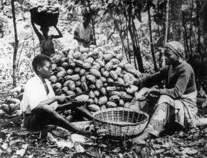 आ. २. कोकोची फळे गोळा करण्याचे घानातील एक दृश्य