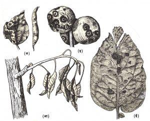 विविध वनस्पतींवरील करपा रोग : (अ) घेवड्यावरील करपा, (आ) सफरचंदाच्या पानावरील आग्या करपा, (इ) अकोडावरील करपा, (ई) बटाट्याच्या पानावरील करपा.