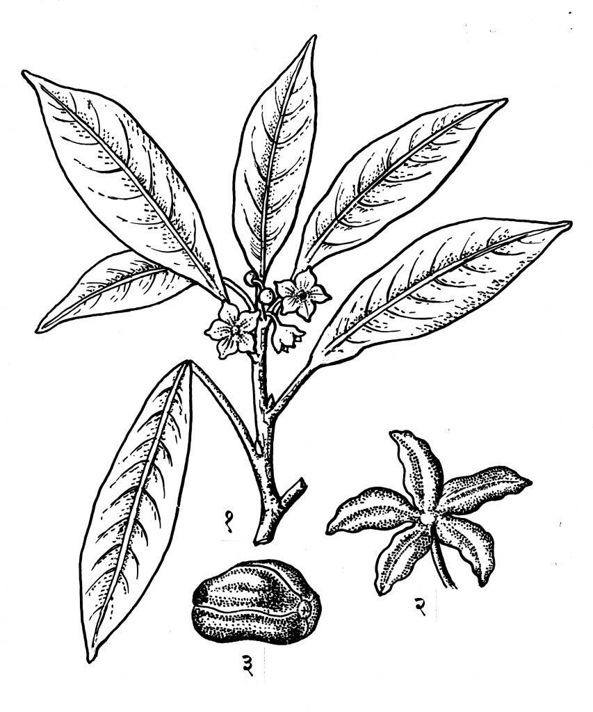 कोला : (१) फुलांसह फांदी, (२) फळ, (३) बी.