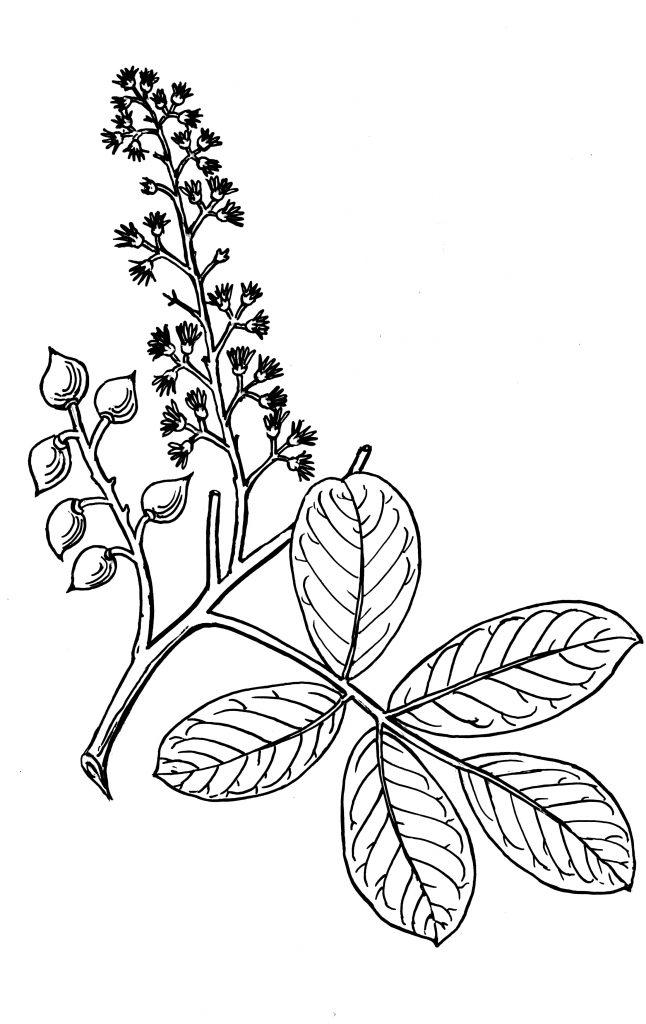 कोशिंब : पान, फुलोरा व फळे यांसह फांदी