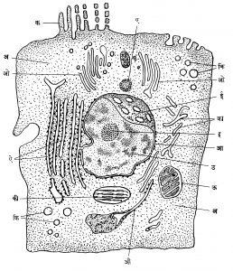 आ. १. संमिश्र कोशिका (आरेखीय संरचना) : (अ) परिकल आधात्री, (आ) प्रकल, (इ) प्रकलक, (ई) सच्छिद्र प्रकलपटल, (उ) रंगसूत्रद्रव्य, (ऊ) कलकणू, (ए) कर्षकेंद्रीकरण, (ऐ) अंत:प्राकल जालक (इआर), (ओ) गॉल्जी पिंड, (औ) रिबोसोम, (क) सूक्ष्म उद्वर्भ, (का) रिबोसोमहीन अंत:प्राकल जालक, (कि) लहान रिक्तिका, (की) हरितकणू.