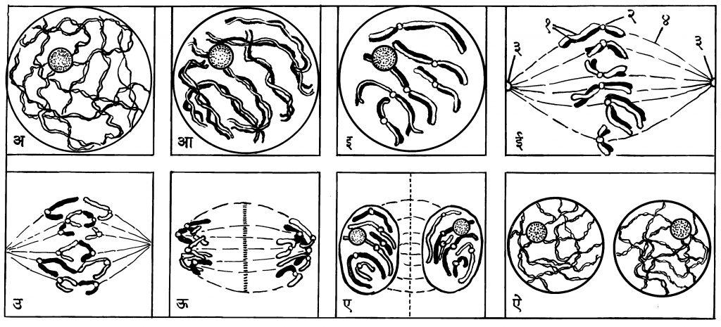आ. ७. कोशिकाचे समविभाजन : (अ, आ, इ) पूर्वावस्था, (ई) मध्यावस्था : (१) रंगसूत्रार्धे, (२) तर्कुयुज, (३)कर्षकेंद्रकण, (४) तर्कुतंतू : (उ, ऊ) पश्चावस्था, (ए) अंत्यावस्था, (ऐ) दोन नूतन कोशिका.