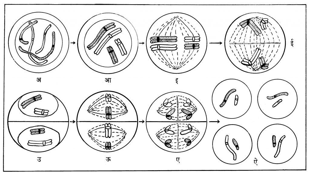 आ. ८. कोशिकेचे अर्धसूत्रण-विभाजन : पहिला टप्पा; (अ, आ) पूर्वावस्था, (इ) मध्यावस्था, (ई) पश्चावस्था. (उ) अंत्यावस्था. दुसरा टप्पा; (ऊ) मध्यावस्था, (ए) पश्चावस्था, (ऐ) चार नूतन कोशिकांची प्रकले (प्रत्येकात निम्मी रंगसूत्रे).