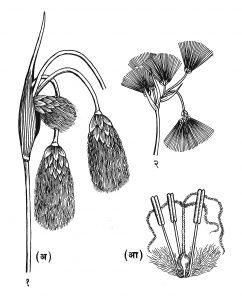 कॉटन ग्रास: (१) एरिओफोरम अंगुस्तिफोलियम : (अ) फलधारी प्ररोह, (आ) फूल, (२) एरिओफोरम पॉलिस्टॉकिऑनाचा फुलोरा.