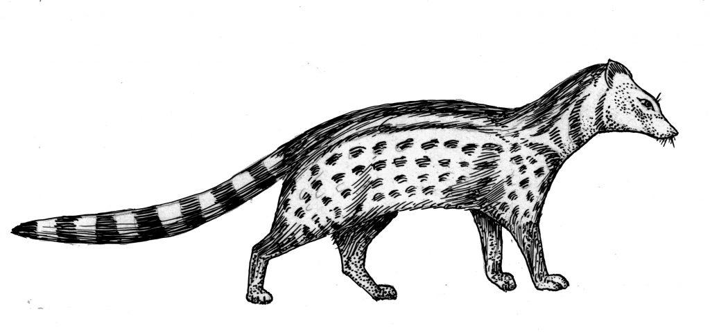 कस्तुरी मांजर
