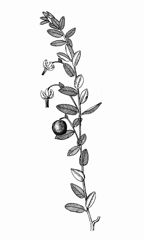 आ. २. क्रेनबेरी (व्हॅक्सिनम मॅक्रोकार्पॉन)