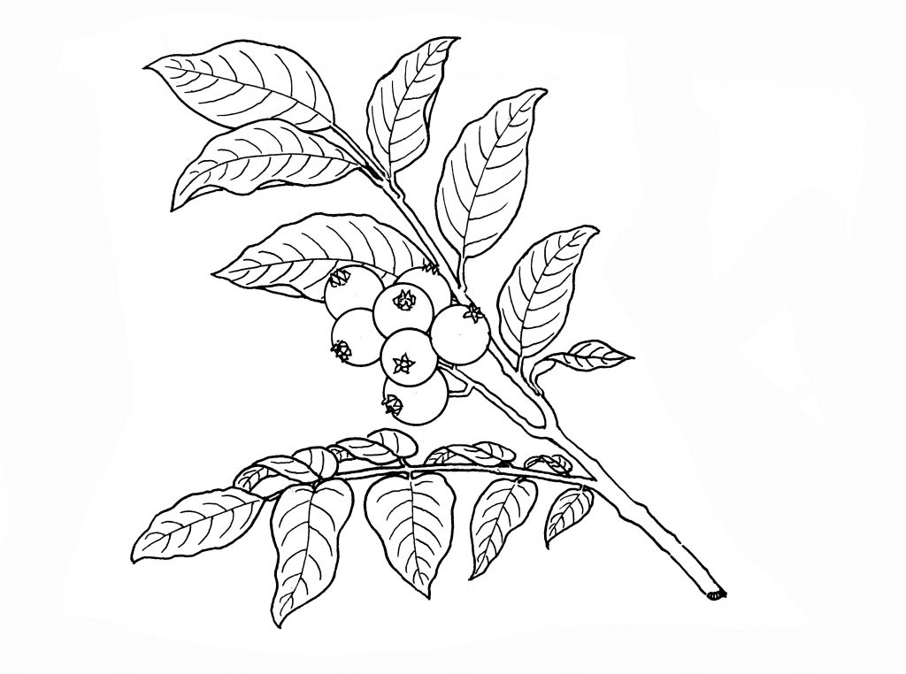 आ. १. ब्ल्यूबेरी (व्हॅक्सिनम कॉरिंबोजम)