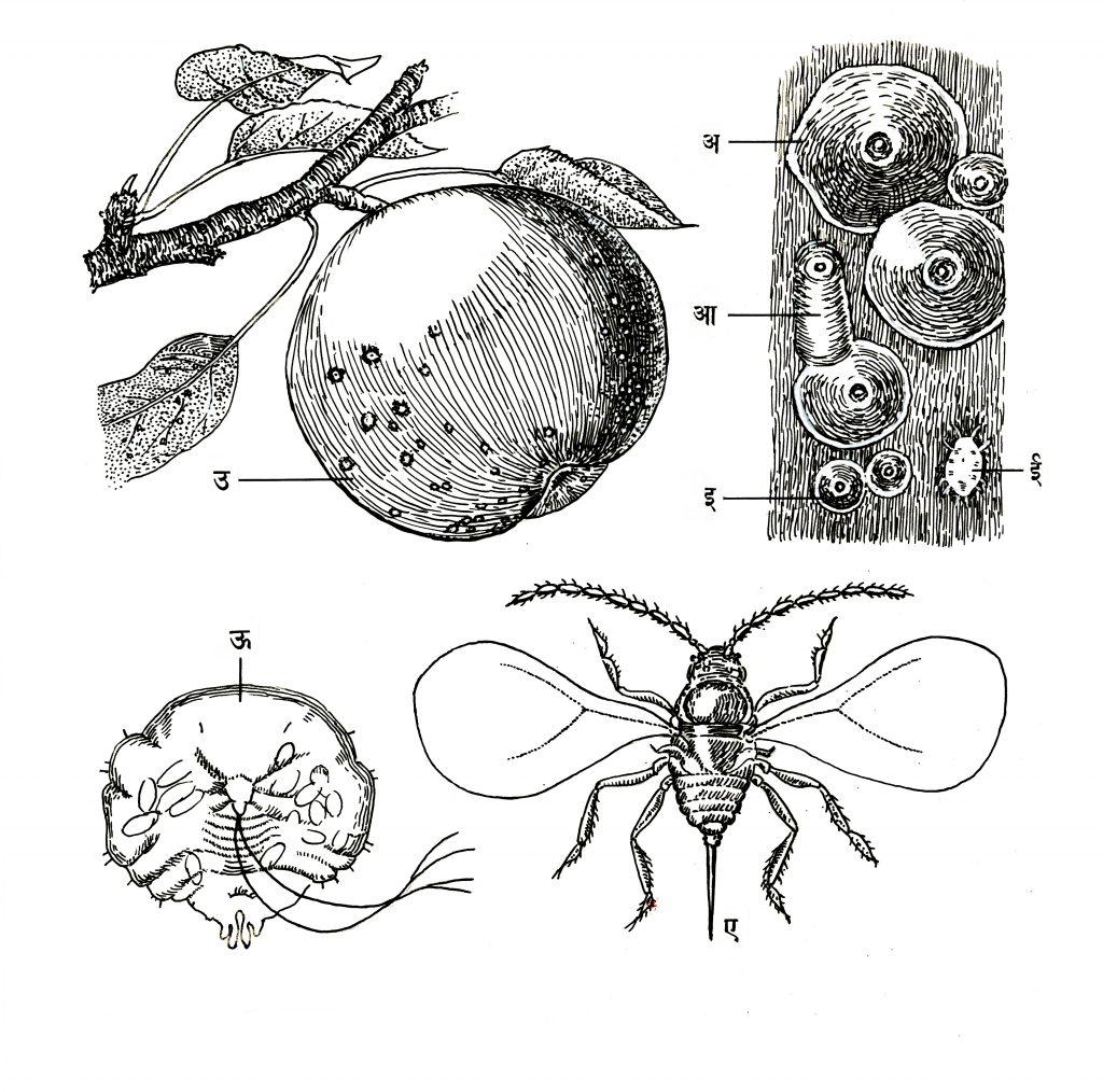 सफरचंदावरील सॅन ओझे खवले किडे : (अ) प्रौढ मादीचा खवला, (आ) नराचा खवला, (इ) प्रथमरूप पिलू, (ई) तेच मोठे करून दाखविलेले, (उ) फळावरील कीड, (ऊ) मादीचे शरीर, (ए) प्रौढ नर.