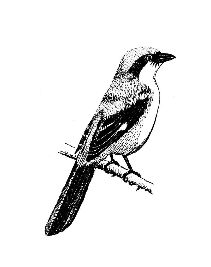 खाटीक पक्षी