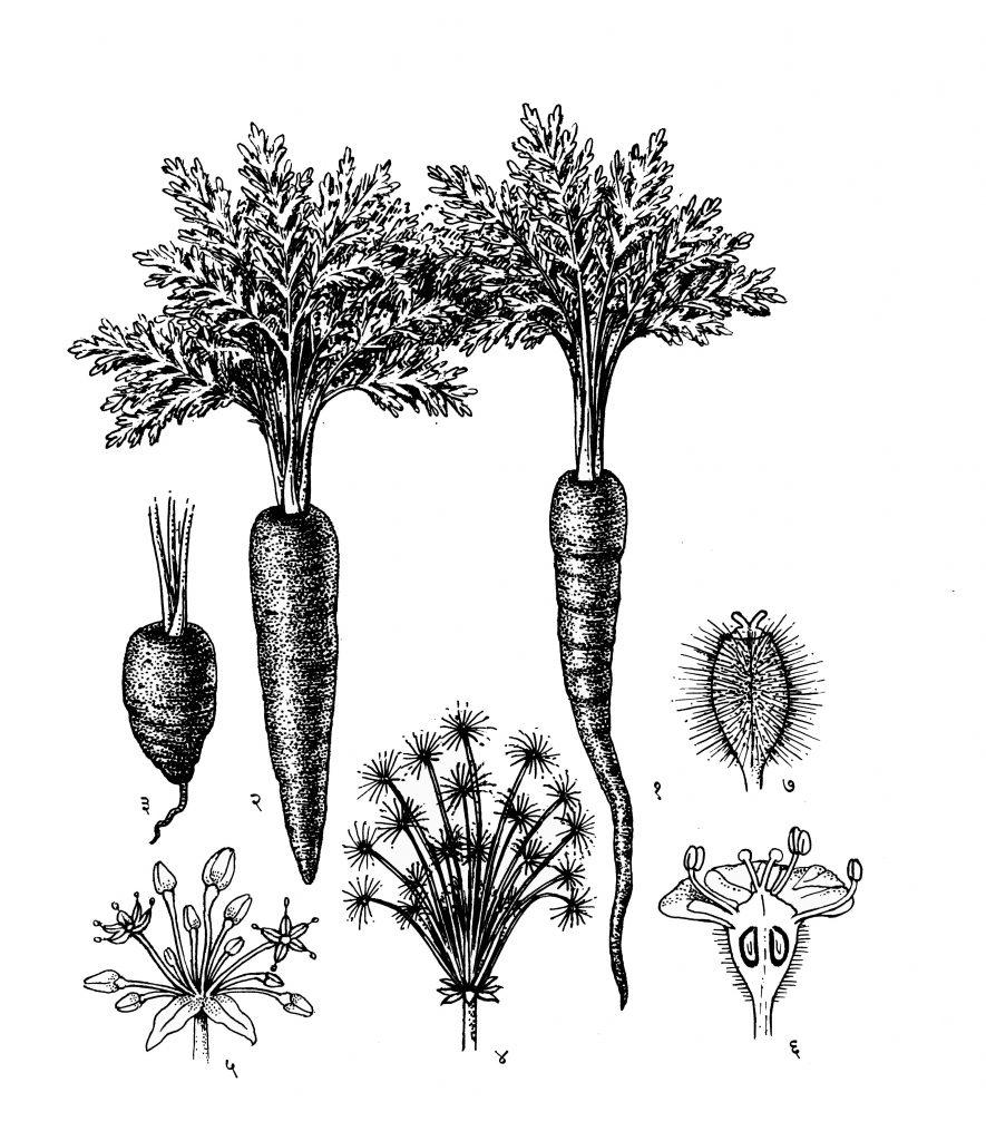 गाजर : (१) (२) व (३) मुळाचे प्रकार, (४) फुलोरा-संयुक्त चामर, (५) एक साधे चामर, (६) फुलाचा उभा छेद, (७) फळ.